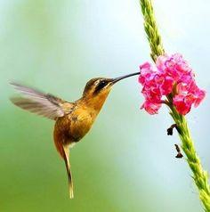 Reddish Hermit Hummingbird - Bolivia, Brazil, Colombia, Ecuador, Peru, Venezuela & Guianas