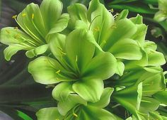 """Image detail for -Hirao"""" – A remarkable green Clivia has been bred by Toshio ..."""