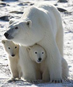 polar bear squishes