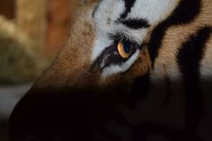 Eye of the Tiger at Dade City's Wild Things