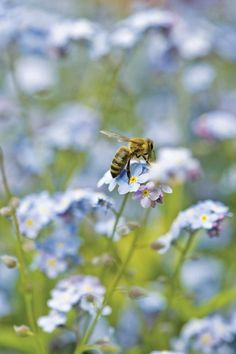 Bee on forget-me-nots