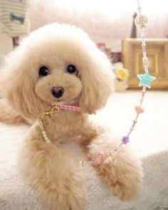I love this Poodle.  She looks so sweet.  Especially love that leash.  I've never seen one like that.  #puppied