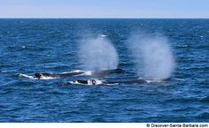 Blue Whales in the Santa Barbara Channel