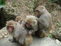MACACO - Macaco de Formosa- FemalegroomingPhotoMinnaJHsu