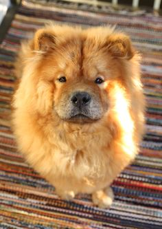 Chow chow dogs are so fluffy and cute just like a teddy bear Cute Puppies, Cute Dogs, Dogs And Puppies, Doggies, Beautiful Dogs, Animals Beautiful, Animals And Pets, Cute Animals, Sweet Dogs