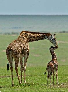 """A kiss for the baby giraffe"" (by Sandy Schepis) Wild Life, Animals And Pets, Baby Animals, Cute Animals, Baby Giraffes, Elephants, Wild Animals, Beautiful Creatures, Animals Beautiful"