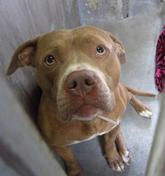 SUPER URGENT - A4669575  I am a sweet 3 yr old male tan/white pit bull mix. I came to the shelter as a stray on January 18. available 1/23/14 Baldwin Park shelter Open for Adoptions 7 days a Week 4275 Elton Street, Baldwin Park, California 91706 Phone 626 430 2378  https://www.facebook.com/photo.php?fbid=724757814202725&set=a.705235432821630&type=3&theater