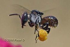 "A ""Sugarbag"" bee. Photo: Peter O. | photo pinned by Western Sage and KB Honey (aka Kidd Bros)"