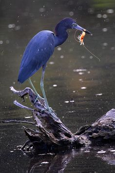 Little Blue Heron (Egretta caerulea). This small heron breeds in the Gulf states of the US, through Central America south to Peru and Uruguay. All Birds, Birds Of Prey, Love Birds, Exotic Birds, Colorful Birds, Pretty Birds, Beautiful Birds, Nature Collection, Image Collection