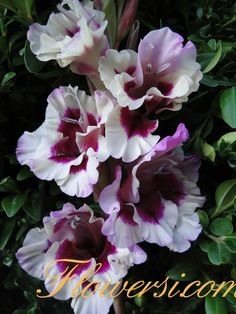 Gladiolus 'Smutny Acant'