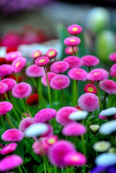 ~~Pink Buttons, Buchart Gardens by Visualist Images~~