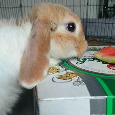 My hoomans say I need to 'work' for my food... Uhhh I'm a bunny I don't want a job!  _____   _____ #twixthebunny _____________________________________________ #bunnies #dailyfluff #buzzfeedanimals #bunniesofinstagram #cuteanimals #rabbits #rabbitsofinstagram #whiskers ----- #cutepets #bunniesworldwide #instabunny #showcasing_pets #babyanimals #rabbitstagram #bunnystagram #fluffball #cutepet #bunnyrabbit #minilop #petgram #houserabbit #dailydoseofcute #cuteanimal #rabbitsofig #bunnygram…