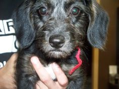 Chloe the puppy is an adoptable Poodle Dog in Shelbyville, IN. Chloe is a three-month-old Poodle/Beagle mix that was just relinquished to our glorious shelter today, May 29th.  Her previous owner only...