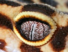 Image: Rachaelwrites Geckos  Macro of my gecko's eye  Nocturnal geckos have to be able to block out the bright sun during the day while still retaining excellent night vision, which is why they have long zig-zagged pupils that can tightly constrict to let in only pinpoints of light. Interestingly, while humans cannot see colors in dim moonlight, these animals can discriminate between colors and their eyes are calculated to be almost 350 times stronger when it comes to seeing color.