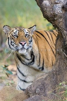 Tiger by Suzi Eszterhas