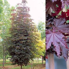 Acer platanoides 'Crimson Sentry' - this stunning tight growing purple leaved maple is beautiful and seems larger than it is - making it a great medium tree growing to 7 x 4m.