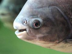 Testicle-Eating Fish: Spotted, Caught in Sweden. I've seen pictures of the actual fish, and I don't think this is it. The fish originated in Brazil and has been carried to a couple of different countries through ship ballast holds. The creepy thing about this fish is that they have human-looking teeth.