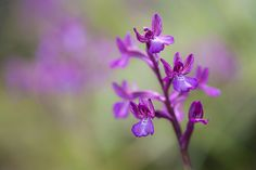 Anacamptis boryi - Bory's Orchid, a Greek endemic, growing in the wild on Crete. Listed as vulnerable in the IUCN red list.