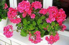 Egyetlen csepp jódtól a muskátli folyamatosan virágokkal örvendeztet meg! Garden Plants, Indoor Plants, Garden Inspiration, Bonsai, Beautiful Gardens, Container Gardening, Helpful Hints, Orchids, Floral Wreath