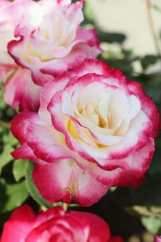 Hybrid Tea Rose: Rosa 'Double Delight' (U., before my tea roses are smaller. possibly splice in white tea roses ? Flowers Nature, My Flower, Pretty Flowers, Flower Art, Romantic Roses, Beautiful Roses, Double Delight Rose, Rose Foto, Gardens