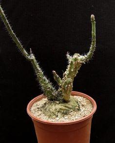 Adenia-aculeata-Caudex-Ariocarpus-Bulb