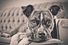 Greta the pitbull, via Flickr.