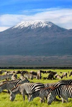 Zebras grazing in the shadow of Mt. Kilimanjaro