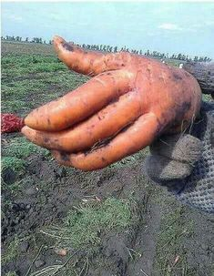 Nice to meet you, I am Carrot - At first I thought orange but the fingers are too long to be Donald tRumps! Weird Fruit, Funny Fruit, Strange Fruit, Fruit And Veg, Fruits And Vegetables, Funny Vegetables, Weird Plants, Weird Shapes, Food Humor