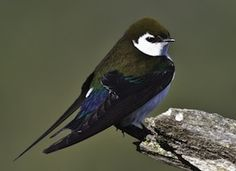A beautiful swallow of open woodlands, the Violet-green Swallow is found only in the American West.