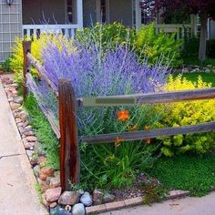Russian Sage is a large, fluffy perennial with soft spikes of lavender-blue flowers and fragrant gray-green foliage. It isn't a sage, but it fits right in with them. Branching sprays of tiny flowers c