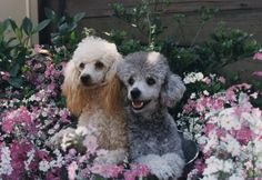 #poodle #dogs