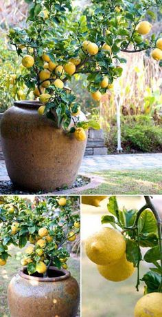 A Lemon Tree Studded with Fruit is an Absolutely Fabulous Scene to Your Garden