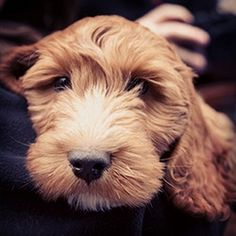 Cockapoo Puppy Photos - THE COCKAPOO CLUB OF GB Cute Dogs And Puppies, Puppies For Sale, Pet Dogs, Pets, Baby Furniture Sets, Cockapoo Puppies, Waiting List, Large Animals, F1