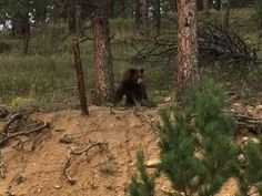Two bears crash wedding west of Boulder, get shot with bean bags