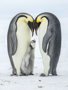 Emperor Penguins Have Disappeared In Huge Numbers From A Previously Stable Breeding Ground, Satellite Pics Show Penguin Life, King Penguin, Emperor Penguin Facts, Emperor Penguins, Animals And Pets, Baby Animals, Cute Animals, Funny Animals, Penguin Tattoo