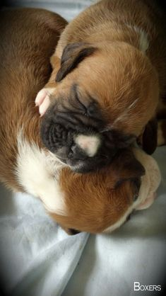 "See our site for additional info on ""Boxer Puppies"". It is a great place to find out more. Boxer Puppies, Cute Puppies, Cute Dogs, Dogs And Puppies, Doggies, Boxer And Baby, Boxer Love, Wild Life, Baby Animals"