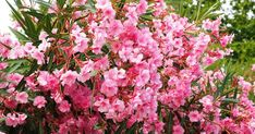 Full Sun Flowers, Pink And White Flowers, Amazing Flowers, Red Flowers, Best Perennials, Flowers Perennials, Planting Flowers, Oleander Plants, Perennials