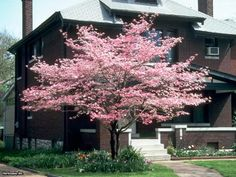 These lovely dogwood tree cultivars offer four-season garden beauty.