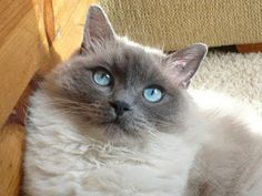Pets Cute and Docile Blue Point Ragdoll, Cute Cats, Funny Cats, Funny Cat Wallpaper, Cat Heaven, Loyal Dogs, Cat Cafe, Dog Photos, Best Dogs