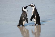 Boulders Beach, una playa reservada a los pingüinos en Sudádrica.