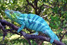 Camaleão Parson na Ilha de Madagascar. Por serem tão exóticos, os répteis de Madagascar são muito procurados por colecionadores no comércio ilegal. Como consequência, algumas espécies, como camaleão, geckos e tartarugas estão ameaçadas de extinção.  Fotografia: http://vocerealmentesabia.tumblr.com