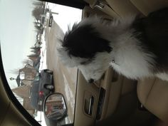 Sheepadoodle  Turn right
