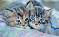 Kittens With Blue Eyes HD Wallpaper | kittens with blue eyes hd wallpaper 1080p, kittens with blue eyes hd wallpaper desktop, kittens with blue eyes hd wallpaper hd, kittens with blue eyes hd wallpaper iphone