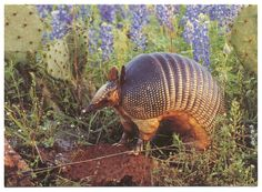 What I love about Texas: armadillos. I have one that lives in the creek behind our house and likes to raid my garden. So ugly theyre cute...
