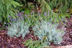 Ogrodnictwo od A do Z: Lawenda wąskolistna (Lavandula angustifolia)- wios...