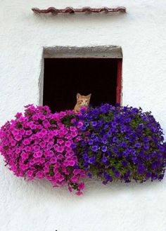 simple petunias in window box - cute kitty too I Love Cats, Crazy Cats, Cute Cats, Beautiful Cats, Beautiful Flowers, Garden Windows, Ginger Cats, Window Boxes, Flower Boxes