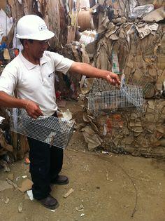 Captura de roedores
