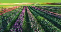 Cikkünk nyomán megmozdult az ország a kőröshegyi tulipánokért Vineyard, Outdoor, Outdoors, Vine Yard, Vineyard Vines, Outdoor Games, The Great Outdoors