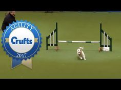 Hilarious Jack Russell Goes Crazy with Excitement at Crufts 2017! - YouTube