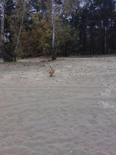 Ringo kun on his trip somewhere in the wilds. Shiba, Some Pictures, Outdoor, Outdoors, Outdoor Games, Outdoor Living